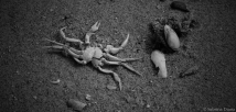 krab schelp, vakantie zeeland zwart wit copyright