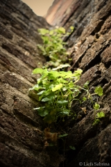 Muurplant - Copyright